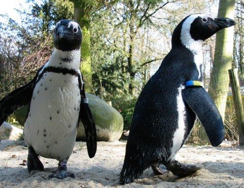 Pinguins voor Polen