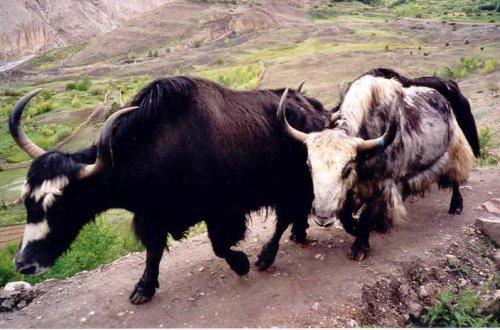 Een yak, twee yakken